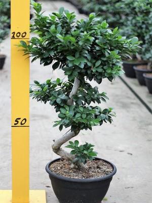 Ficus Nitida Microcarpa Ginseng
