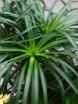 Beaucarnea nolina recurvata