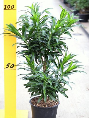 Dracaena reflexa song of costa rica