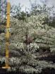 Cornus alba elegatissima